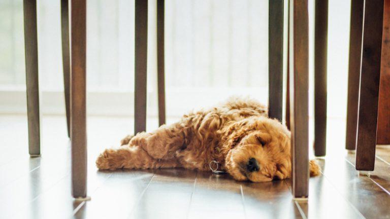 hond slaapt op de vloer